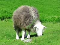 Herdwick sheep grazing