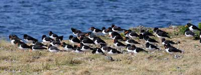 Oystercatchers